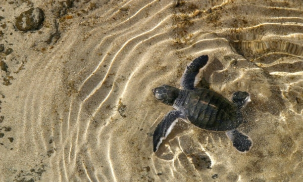 Hawkbill turtle hatching